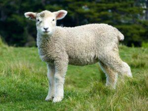 sheep-killed-drunk-driving-crash
