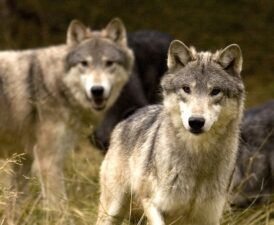 dui-wolf-pack